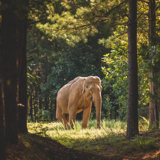 Photo Of Asian Elephant Shirley Stands Among Trees At The Elephant Sanctuary In Tennessee
