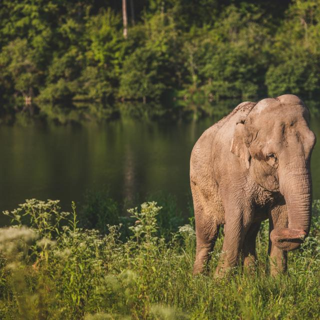 Photo Of Asian Elephant By Lake At The Elephant Sanctuary In Tennessee